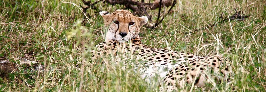 A cheeta in the Masai Mara