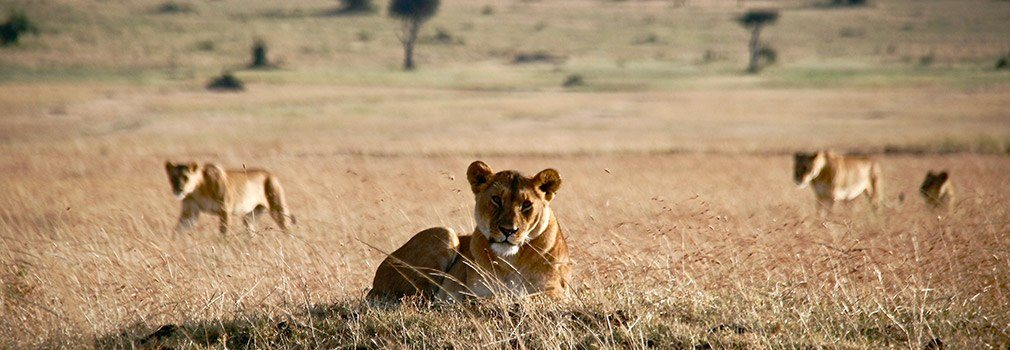 Spotting lions on safari in Kenia