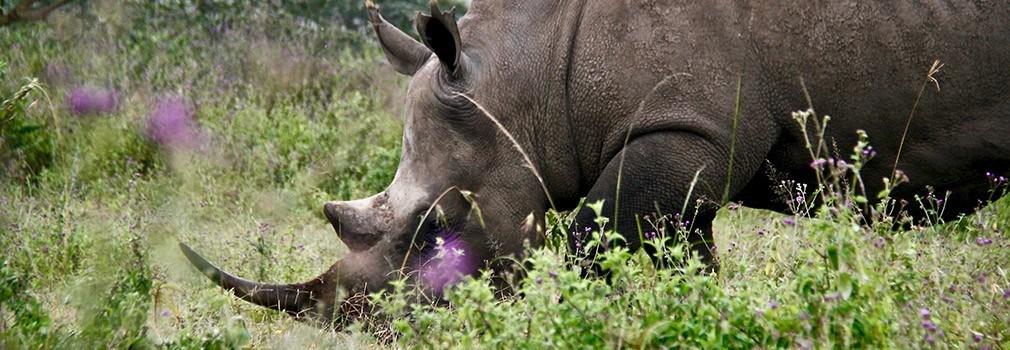 The white rhino